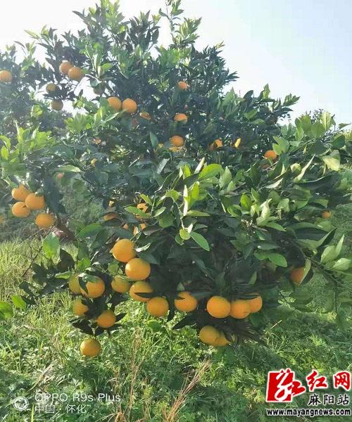 """高接换种的麻阳""""锦秀""""冰糖橙挂满枝头.jpg"""
