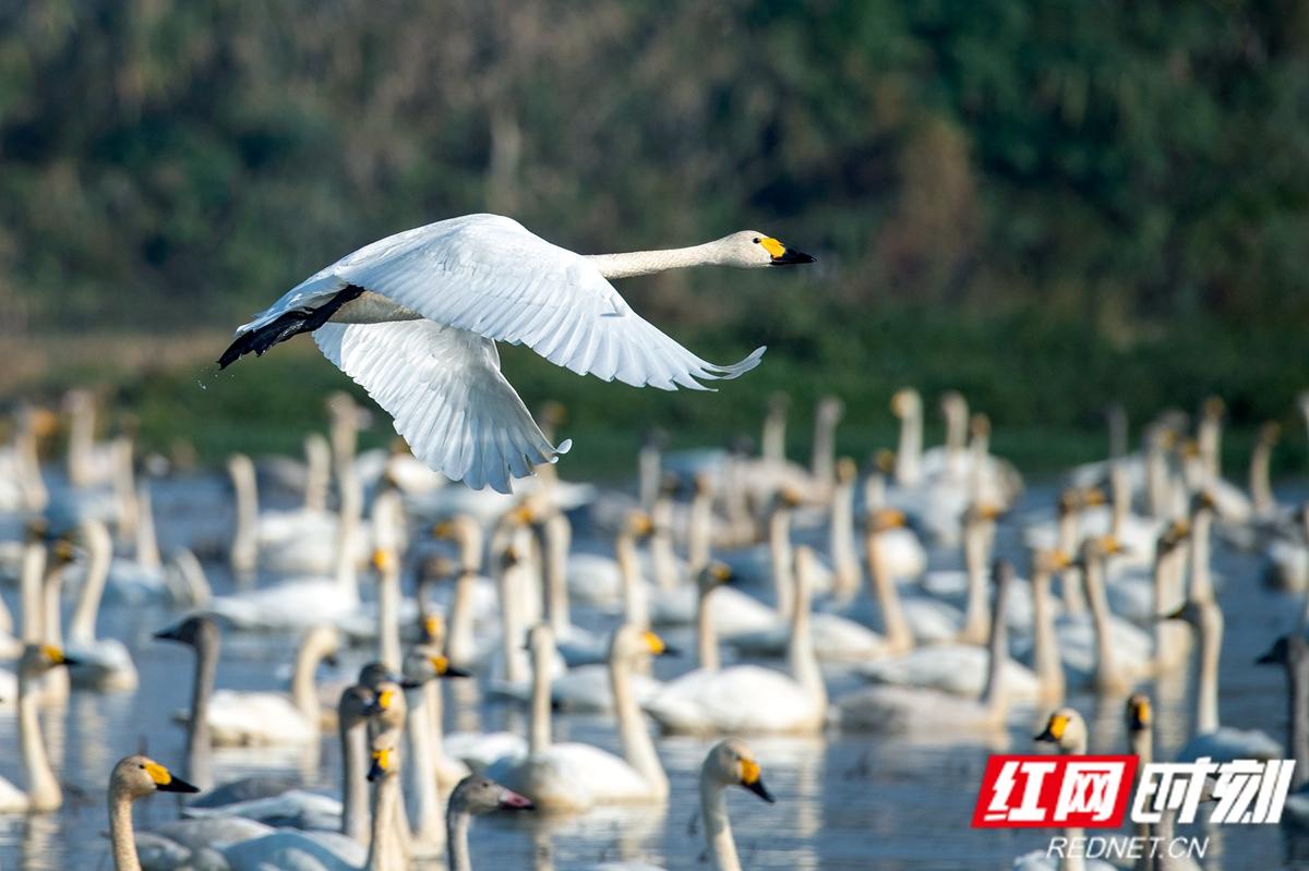 屈原管理区:数千天鹅结队嬉戏 蔚为壮观
