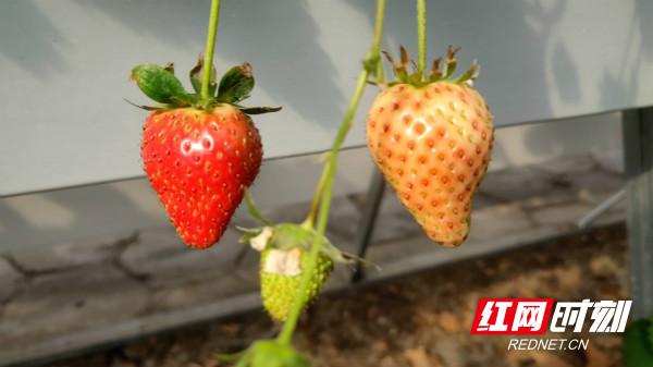 草莓_meitu_1.jpg
