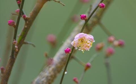 """組圖丨還在大寒時節 湖南省植物園的紅梅就""""報春""""了"""