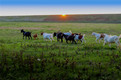 绿水青山,草地肥沃,关山脚下的羊群