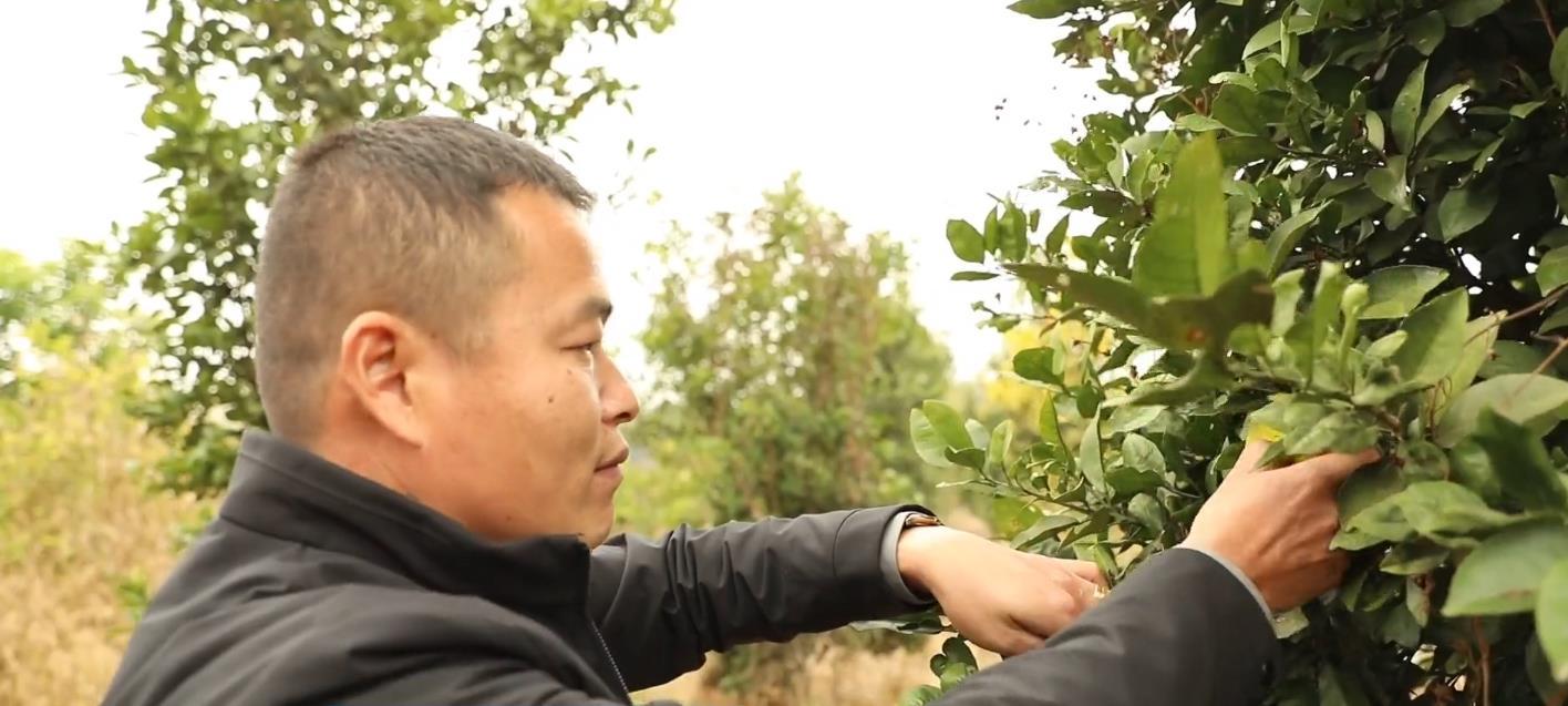 安仁县人大代表刘正龙向笔者介绍种植的柑橘.jpg