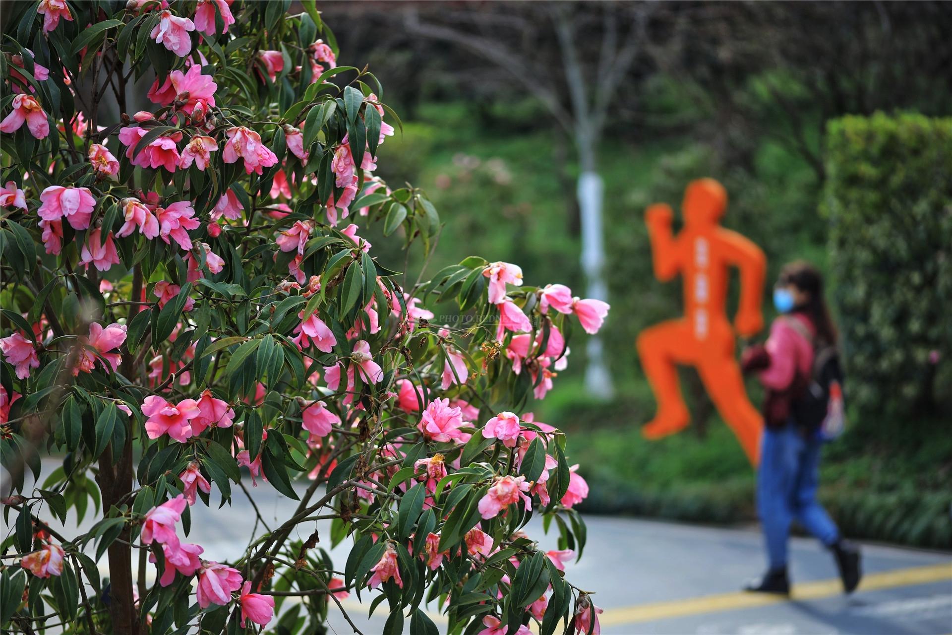 湖南省植物园樱花、梅花竞相绽放 新春赏花正当时