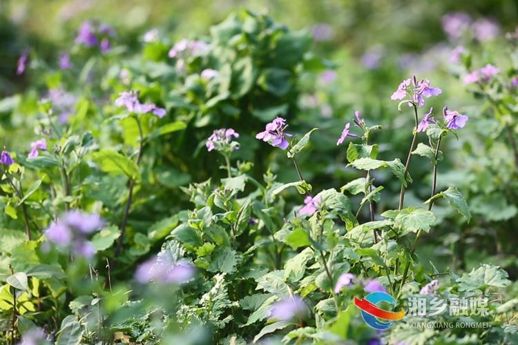 紫色小花像一只只蝴蝶,在叶间飞舞。.jpg