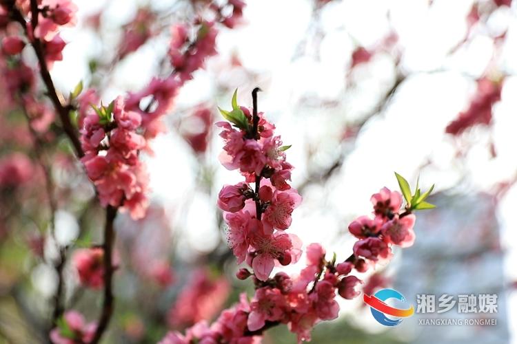 一朵朵花儿绽放枝头,争妍斗艳。.jpg