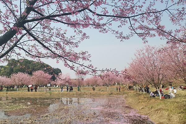 视频 | 湘南胜境:百万樱花开满园