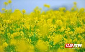绥宁:油菜花开 乡村如画