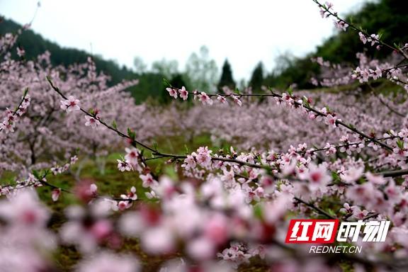 永顺县友谊村:桃花盛开迷人眼