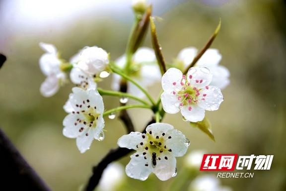 组图丨永顺县立烈村: 梨园春色美如画