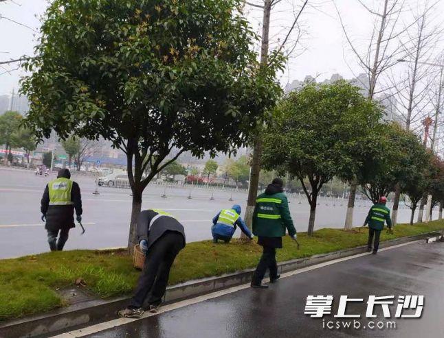芙蓉路上,园林工人正在为绿化带清除杂草。市城管执法局供图