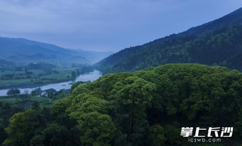 浏阳小河乡小溪河一个回湾处吸引了众多白鹭安家。