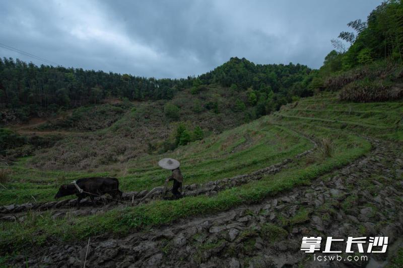 老农牵着黄牛,让汗水浸养一年的希望。