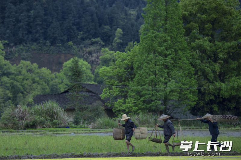 皇碑村金葵岛培育的秧苗绿得像一垄一垄的翡翠。