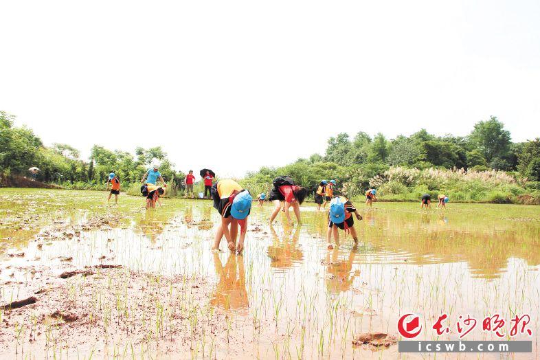 砂子塘吉联小学亲子水稻田里,学生正在进行插秧活动。