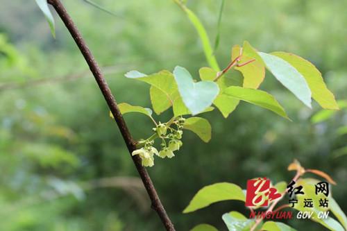 宁远九嶷山发现珍稀猕猴桃物种