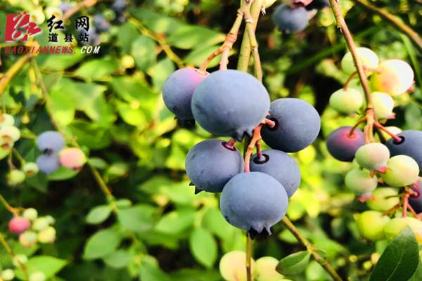 """道县:60亩蓝莓成熟上市 """"蓝""""精灵""""莓""""好尽现"""