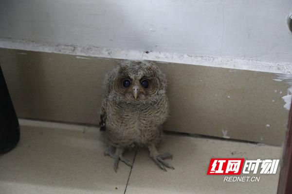 金洞:捡到一只小猫头鹰 成长后放归大自然