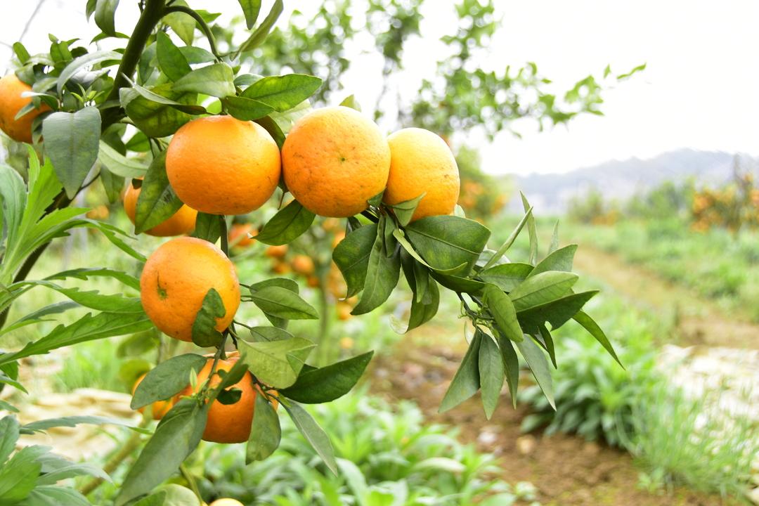 金都现代农业园柑橘熟了