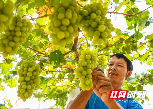 湖南道县:葡萄丰收喜开摘