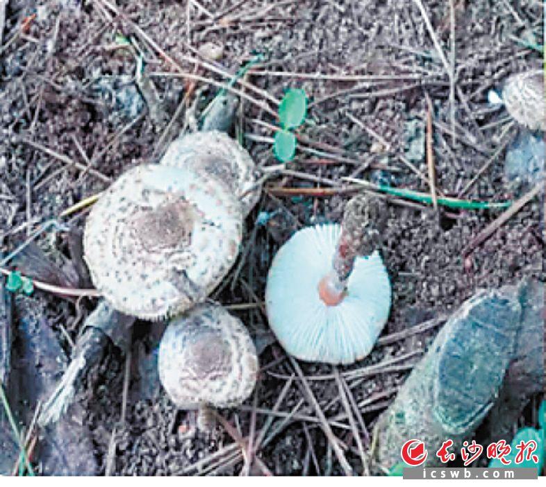肉褐鳞环柄菇