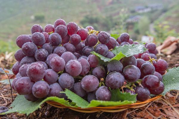 泸溪县:葡萄飘香果真好