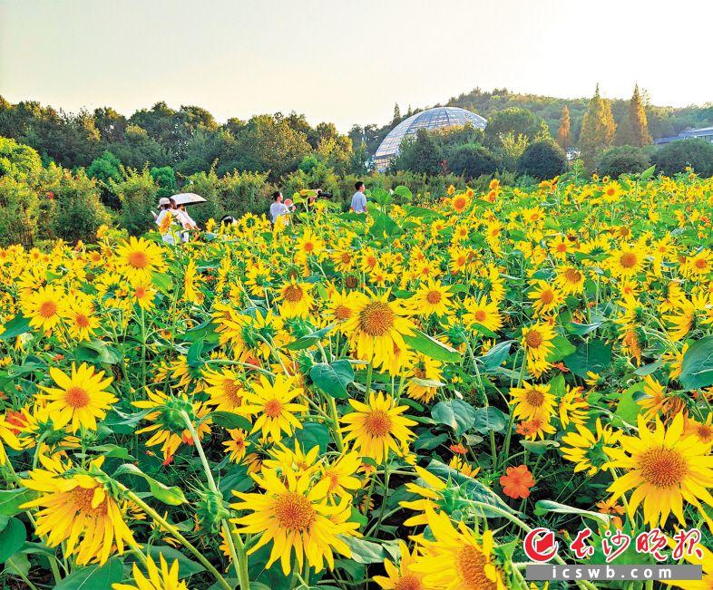 省植物园里,10万株姿态各异的向日葵等你来打卡。长沙晚报通讯员 郝育新 摄