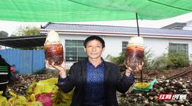 攸县:3000亩香芋喜获丰收